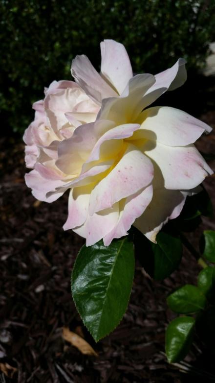 flower-photo-10-22-16